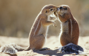 Gophers, petting, courtship