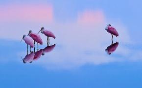 Розовые, колпицы, озеро