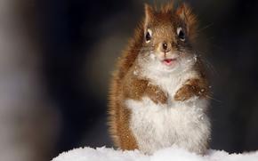 белка, снег, смотрит