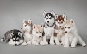 собаки, щенки, хаски