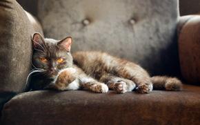 кот, кошка, британский кот, кресло, смотрит
