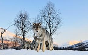 loup, hiver, voir