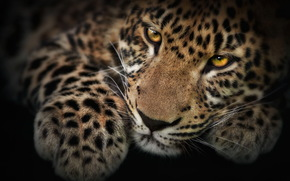 leopardo, gattino, zampa, grugno, maculato, baffi, vista, Photoshop, carta da parati