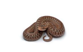 serpiente, Marrn, fondo blanco
