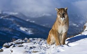 美洲狮, kaguar, 美洲狮, 看, 好奇心, 景观, 岩石, 山, 雪