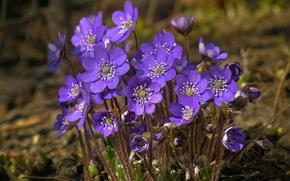 violet, Flowers, spring, nature