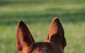 pastor, co, orelhas