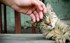 animale domestico, gatto, gatto, mano, ferro da stiro
