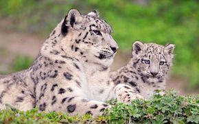 盎司, 雪豹, 妈妈, 小猫, 看