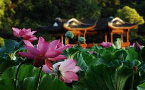 花卉, 宏, 莲花, 池塘, 叶子, 乔木