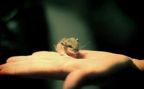 mano, piccolo, piccolo, mousekin