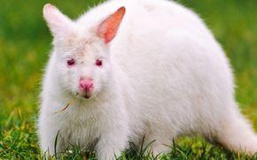 white kangaroo, белый кенгуру, альбинос