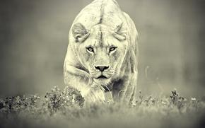 leonessa, caccia, predatore