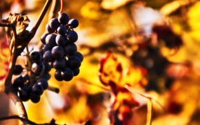 grapes, clusters, twig, autumn, blurring, bokeh