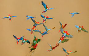 Uccelli, Pappagalli, ara