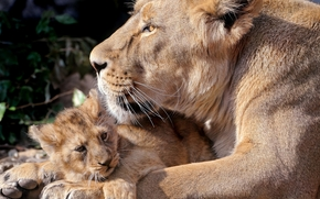 Predators, leonessa, giovane leone, si trovano insieme, appoggio sul terreno