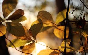 fogliame, fogliame, Giallo, albero, ramo, luce, sole, autunno, effetto, Macro