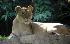 leone, leonessa, , guarda, pietra, fogliame