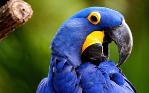 uccello, pappagalli, Giacinto Macaw