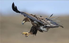 Golden eagle, flight, claws, beak, view