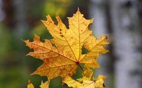 макро, лист, природа, клён