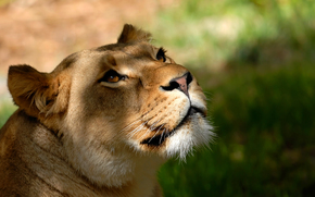 leone, leonessa, testa, vista, grugno, baffi, sfondo, carta da parati