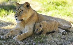 leone, leonessa, giovane leone, vista, ombra, riposo