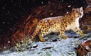 imagen, leopardo, Bestia, nieve, ver, hierba, piedra, noche
