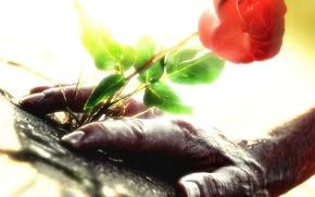 flor, calor, mano, rosa, Rosa, hermoso, hermoso, belleza, positiva, sentido, Con un sentido de, muerte, fuerza, valor, aspiracin