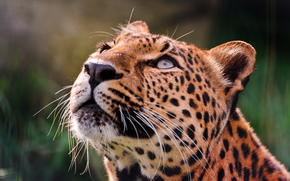 leopard, eyes, looks, up