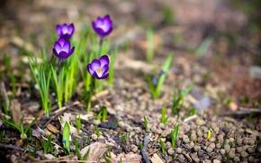 природа, растения, цветы, весна, крокусы, макро, фото