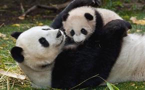 панда, мама, малыш, детеныш