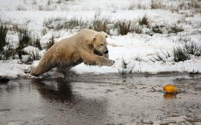 bear, Winter, snow