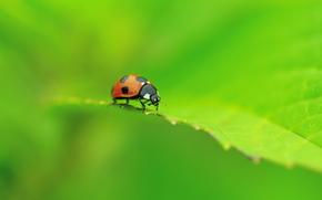 macro, ladybird, Beetle, list, greens