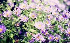 fiori, aster, Macro, aiuola