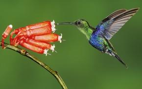 Животные, Колибри, Птица, Птицы, Цветок