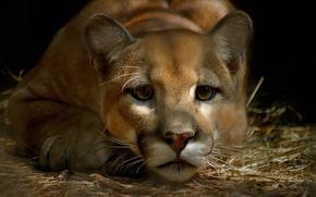 пума, кугуар, горный лев, грустный, взгляд, морда, усы, глаза
