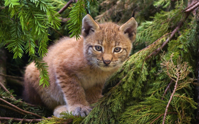 lince, foresta, gatto, gattino