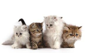котята, малыши, пушистые