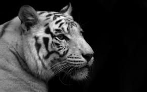 тигр, белый, черный фон, чёрно-белые обои
