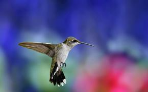 Колибри, полет, крылья