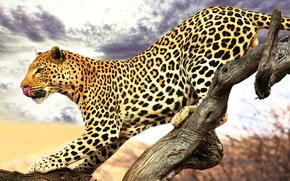 леопард, профиль, пятнистый, язык, крадётся, сухое дерево