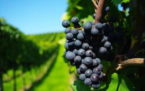 grapes, Grona, lstva, branch, Vineyards