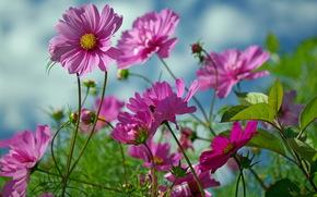 цветы, лето, природа, красота