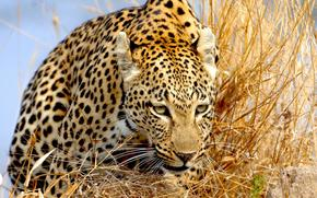 леопард, трава, взгляд, крадётся