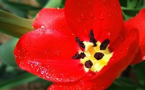 郁金香, 红色, 大
