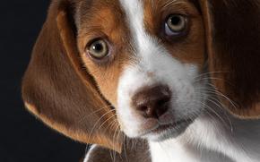 Beagle, cachorro, amigo