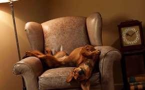 dog, watch, chair