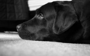 en blanco y negro, Labrador, Pedro, el mejor perro