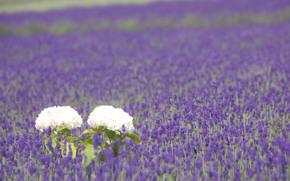 поляна, поле, белые, лепестки, гортензия, листья, лаванда, сиреневые, цветы, растения, природа, весна, макро